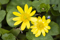 Two daisy yellow flowers Royalty Free Stock Photos