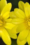 Two daisy yellow flowers Stock Images