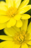 Two daisy yellow flowers Stock Image