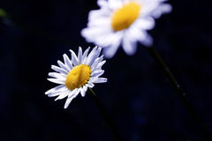 Two Daisys Stock Photography