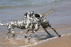 Two dalmatian dogs playing royalty free stock photo
