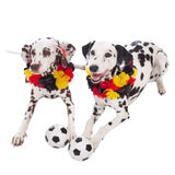 Two dalmatian dogs with soccer equipment Stock Photos
