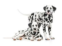 Two Dalmatian dogs together royalty free stock images