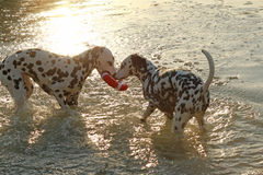 Two dalmatian dogs with water toy in evening sunlight Stock Images
