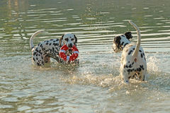 Two dalmatian dogs with water toy playing in a lake Stock Photo