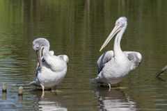Two dalmatian pelicans - Pelecanus crispus - grooming. Two dalmatian pelicans - Pelecanus crispus - standing on a branch and grooming royalty free stock images