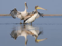 Two Dalmatian Pelicans Royalty Free Stock Images