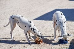 Two Dalmatian puppies eat from a bowl. Two Dalmatian pupies eat from a bowl in a farm yard royalty free stock photo