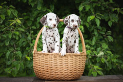 Two dalmatian puppies in a basket. Brown dalmatian puppies outdoors in summer stock photo