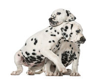 Two Dalmatian puppies cuddling. In front of a white background royalty free stock photos
