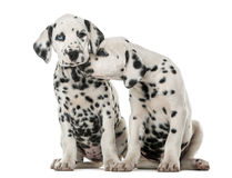Two Dalmatian puppies cuddling. In front of a white background stock image