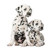 Two Dalmatian puppies. In front of a white background Stock Photos