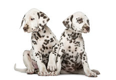 Two Dalmatian puppies Royalty Free Stock Photo