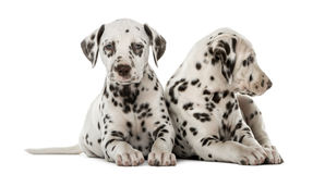 Two Dalmatian puppies. In front of a white background royalty free stock photo