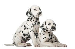 Two Dalmatian puppies. In front of a white background stock photo