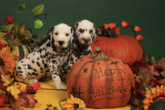 Two dalmatian puppies next to halloween pumpkin. A black spotted female dalmatian puppy and her liver spotted brother sitting in halloween decoration next to stock image