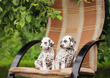 Two dalmatian puppies outdoors. Brown dalmatian puppies outdoors in summer stock images