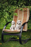 Two dalmatian puppies outdoors. Brown dalmatian puppies outdoors in summer royalty free stock photos