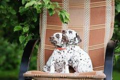 Two dalmatian puppies. Dalmatian puppies outdoors in summer stock photos