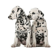 Two Dalmatian puppies sitting. In front of a white background royalty free stock photo