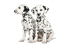 Two Dalmatian puppies, sitting next to each other, isolated. On white royalty free stock photos
