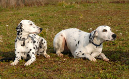 Two Dalmatians. Two  purebred dalmatians: beautiful spotted dogs in a field Royalty Free Stock Image