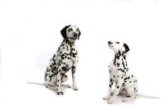 Two Dalmatians royalty free stock images