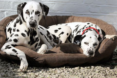 Two Dalmatians laying in bed Stock Image