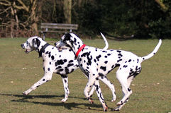 Two Dalmatians running in the park. Two Dalmatians playing in the park stock photos