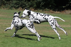Two Dalmatians running in the park. Two Dalmatians playing in the park stock image