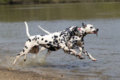 Two Dalmatians running with stick. Two Dalmatians running in water with stick stock images