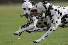 Two Dalmatians  running Stock Photography