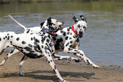 Two Dalmatians running. By the waters edge stock image