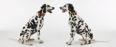 Two Dalmatians Sitting Face To Face Royalty Free Stock Photo