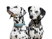 Two Dalmatians sitting, isolated against a white background. Stock Photos