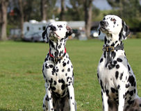 Two Dalmatians sitting. Looking forwards stock images