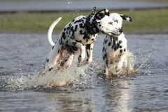 Two Dalmatians splashing in water. Two Black and white Dalmatian dogs playing in the water stock photography