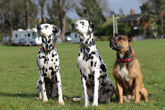 Two Dalmatians and Staffordshire Bull Terrier Stock Photos
