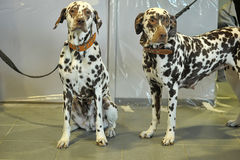 Two Dalmatians. Together on leashes stock images