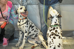 Two Dalmatians. Together on leashes, Dog Show, St. Petersburg, Russia royalty free stock photos