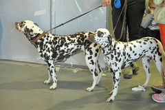 Two Dalmatians. Together on leashes, Dog Show, St. Petersburg, Russia royalty free stock photo