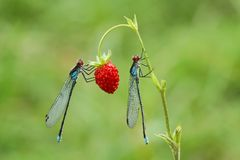 Two damselflies Stock Photography