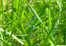 Two damselflies mating on grass royalty free stock image