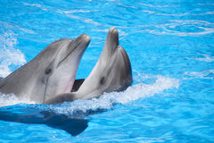 Two dancing dolphins Stock Photography