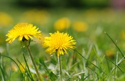 Two dandelion Royalty Free Stock Images