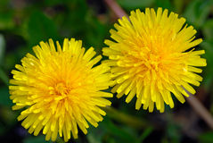 Two dandelion Stock Photography
