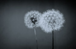 Two dandelion balls Stock Image