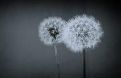 Two dandelion balls Stock Image