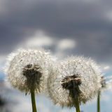 Two Dandelion Blow Balls Royalty Free Stock Photos
