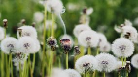 Two dandelion burning in slow motion. Burning dandelion against the background of other flowering dandelions stock video footage